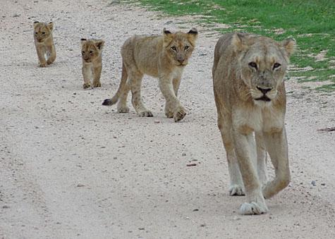 Lejonhonan med sina tre ungar i olika storlekar