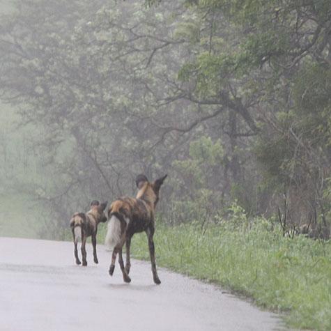 Vildhundarna sprang mitt på vägen